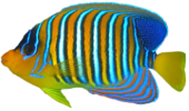 kisspng tropical fish coral reef fish 5b378f22030e09.2466582515303677780125